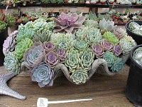 Gorgeous succulents in huge seashell.