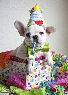 Party puppy. I love this french bulldog. ♥ {Puppy Love} {Pet Photography} {Dogs} {Animals}