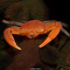 Coral Crab | Papua | 2016.04.25  Title: Coral Crab Location: Papua Camera: NIKON D800E Lens: AF-S Micro Nikkor 60mm f/2.8G ED Settings: 1/80 f/32 ISO200 Housing: Subal ND800 Strobes: 2 x INON Z240  http://marek.wylon.com