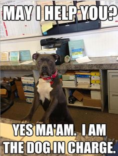 The dog in charge--See pits can have manners ...