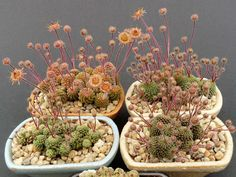 How to Grow and Care for Monanthes - See more at: http://worldofsucculents.com/how-to-grow-and-care-for-monanthes