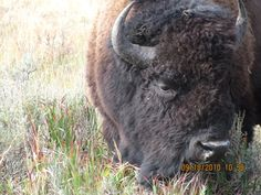 Bison (thankful for zoom). Yellowstone National Park 2010
