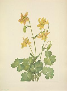 Yellow Columbine - Aquilegia flavescens -  Native to the Rocky Mountains from Utah north to British Columbia and Alberta - circa 1927