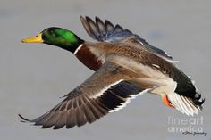 mallard duck pictures - Google Search