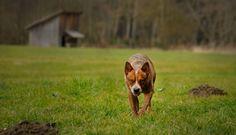 Australian Cattle Dogs   Австралийская пастушья собака   Австралийский хилер