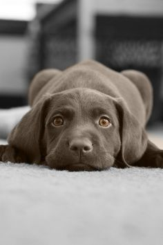Mind Blowing Facts About Labrador Retrievers And Ideas. Amazing Facts About Labrador Retrievers And Ideas. Cute Puppies, Cute Dogs, Dogs And Puppies, Doggies, Labrador Retrievers, Animals And Pets, Baby Animals, Cute Animals, Mundo Animal