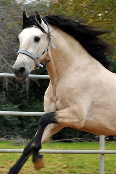 """Legolas' horse in Mirkwood, Lasiavas. Light silver-mist colored stallion with long black mane and tail. He was born of Eluin, sired by Sûldúmîr. When he was born, everyone thought he was a gift from Êlúriel because he was different than all the other horses. His name means """"Autumn Leaf"""". (Example only) Credit to photographer (unknown)"""