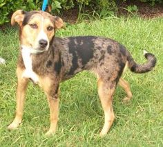 12 / 31 Petango.com – Meet Phoebe, a 6 years Catahoula Leopard dog / Mix available for adoption in TUSCALOOSA, AL Contact Information Address 1108 38th Street, TUSCALOOSA, AL, 35401 Phone (205) 752-1931 Website http://t-townpaws.org Email ljarreau@t-town.ord