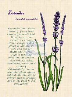 Printed on x 11 canvas and unframed… Lavender Cottage, French Lavender, Lavender Blue, Lavender Fields, Lavender Flowers, Lavender Quotes, Beautiful Gardens, Beautiful Flowers, Gardens