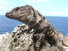 El lagarto gigante de El Hierro (Gallotia simonyi) Endemic to the Canary Islands