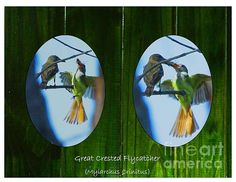 I was able to capture this special moment of a mother great crested flycatcher feeding her newly fledged chick while peeking through a the crook of an Austrailian Pine tree. It reminded me of peeking through the knot holes of a wooden fence when I was young. That memory inspired me to create this piece....and having the excitement of seeing something that we shouldn't have....