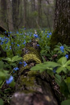 Virginia Bluebell Forest - Poland Forest, Ohio