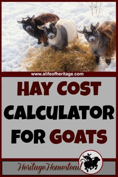 Goat Care How much hay does a goat eat? Hay Cost Calculator for Goats Use this FREE Hay Cost Calculator to help you answer the question: how much hay do I need for my goat? This will help you make a plan and know how much hay to buy a year. Keeping Goats, Raising Goats, Goat Care, Nigerian Dwarf Goats, Mini Farm, Goat Farming, Backyard Farming, Backyard Chickens, Baby Goats