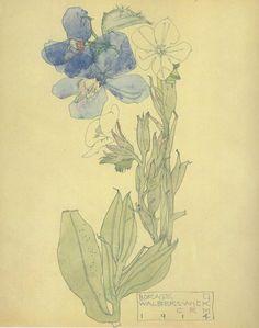 Plant Study ▫ Borage / Walberswick by Charles Rennie Mackintosh ▫ 1914