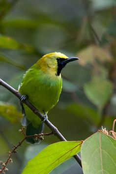 he Blue-winged Leafbird (Chloropsis cochinchinensis) is a species of leafbird found in forest and second growth from far north-eastern India and throughout Southeast Asia as far east as Borneo and as far south as Java.