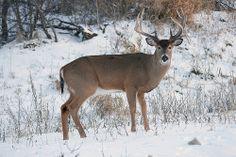 Beautiful buck in early winter