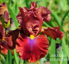 TB Iris germanica 'Braises Incandescentes' (Chapelle, 2013)