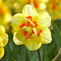Daffodil (Narcissus) Tahiti. One of the sturdiest and most reliable of all double daffodils. Produces a bounty of bright yellow blossoms, accented with red-orange ruffles