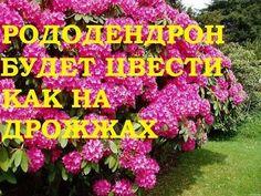 Растения рододендронов не слишком требовательные, в сравнении с розами и пионами, но при достаточной обеспеченности удобрениями, можно получить цветение намного обильнее. Садовые Растения, Ландшафтный Дизайн, Цветы, Поделки, Садоводство, Газированные Напитки