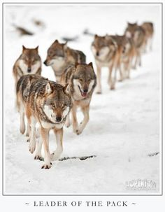 A large pack is on the move.