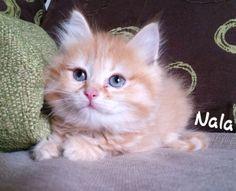 Nala, chaton