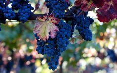 Lovely Grapes Tree Wallpaper