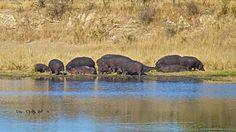 Famiglia di Ippopotami