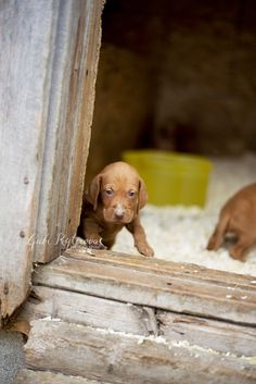 Vizsla love #vizsla puppy