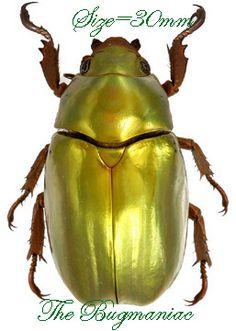 Rutelidae BG : Chrysina batesi - The Bugmaniac INSECTS FOR SALE BEETLES FOR SALE BEETLES BY ECOZONE NEOTROPICAL ECOZONE RUTELIDAE