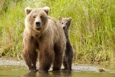 """""""Brooks River Bears"""" by Timothy Mahoney: This photo was taken while wading the Brooks River in Katmai National Park."""