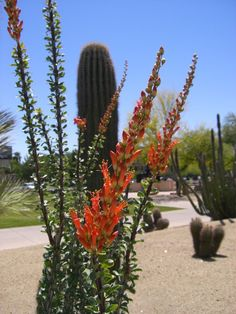 The ocotillo plant is desert shrub that produces a spectacle of bright pink flowers on whiplike canes. It is often called ocotillo cactus but is not truly a cactus. Learn more about this plant and how to grow it here.