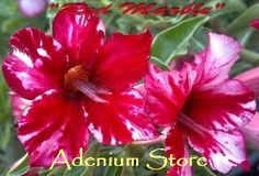 Adenium marble red - Google Search