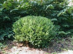 Correct way to prune boxwood - you'd be surprised, most do this incorrectly Perennial Bushes, Garden Shrubs, Garden Plants, Perennials, Garden Inspiration, Garden Ideas, Garden Tips, Garden Projects, Backyard Ideas