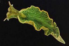 La asombrosa criatura marina mitad planta, mitad animal - Chloroplast and Sea Slug symbiosis
