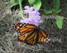 Butterfly Nature Photography, Monarch by DigiMiging