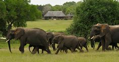 "Elephants, seen on safari at Inyati Safari Lodge in Sabi Sands Game Reserve, South Africa. ""Adjacent to South Africa's flagship Kruger National Park, Sabi Sands offers a safari experience found nowhere else in the world. Game viewing possibilities are simply unparalleled, including the much sought after 'Big 5'. There are no fences between Kruger National Park and Sabi Sands Game Reserve, so wildlife roams freely in huge natural environment."""