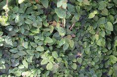 Ficus pumila, Creeping Fig  - Evergreen groundcover or climber  - H x W: 3 x 3m