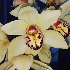 Cymbidium  #flowers #flower #TagsForLikes #petal #petals #nature #beautiful #love #pretty #plants #blossom #sopretty #flowerstagram #flowersofinstagram #flowerslovers #flowerporn #botanical #floral #florals #insta_pick_blossom #flowermagic #instablooms #bloom #blooms #botanical #floweroftheday #orchid #orchids #orquídea #orquídeas #asorquideas