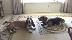 Would you jump at the chance to extend the life of your beloved dog? To discover how, go to http://lovedogs.from.media/go Basset Hounds Howling... Lazy Style!