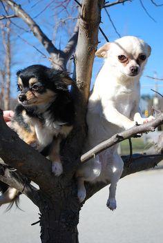 Chihuahuas up a tree!!