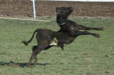 rodeo ~ a legalized abuse of animals for COWARDS! - Occupy  for  Animals!
