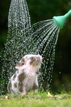 a baby pot belly pig enjoying a refreshing shower