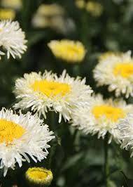 Résultats de recherche d'images pour «leucanthemum real glory»