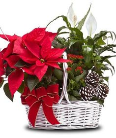 For the green thumb enthusiast, send our garden basket filled with a lovely poinsettia and other garden plants that they will enjoy into the New Year. Poinsettia Plant, Christmas Poinsettia, Christmas Flowers, Christmas Crafts, Christmas Flower Arrangements, Christmas Table Centerpieces, Christmas Decorations, Holiday Gift Guide, Holiday Gifts