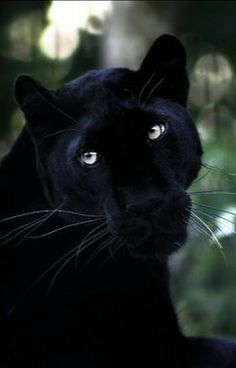 A black panther is not a species in its own right; the name black panther is an umbrella term that refers to any big cat with a black coat. Nature Animals, Animals And Pets, Cute Animals, Wild Animals, Big Cats, Cats And Kittens, Cute Cats, Beautiful Cats, Animals Beautiful