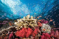 It's not just about Fiji's big critters. Namena Marine Reserve is favored for its vibrant coral reefs and photo-worthy vistas topped with colorful clouds of damselfish, chromis and wrasse.