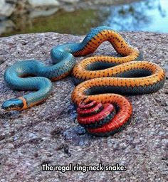 Regal ring-neck snake