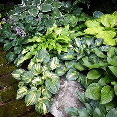 Can you tell I love HOSTAS?  Bright Leaves for a Dark Corner --  The yellow and gold leaves brighten this dark corner. Here the variegations echo the brighter solid-color varieties planted nearby.