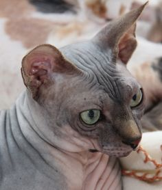 Chat : Peterbald
