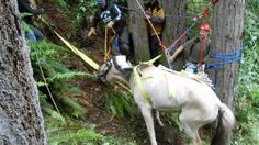 """Gemma, with a history of escaping was rescued from a 70 ft ravine in Washington State. Her owner immediately contacted a pyschic, who described """"Gemma's"""" surroundings.It then took 65 rescue workers from 8 organizations around 12 hours to haul the 800 lb horse to safety, unscathed!"""